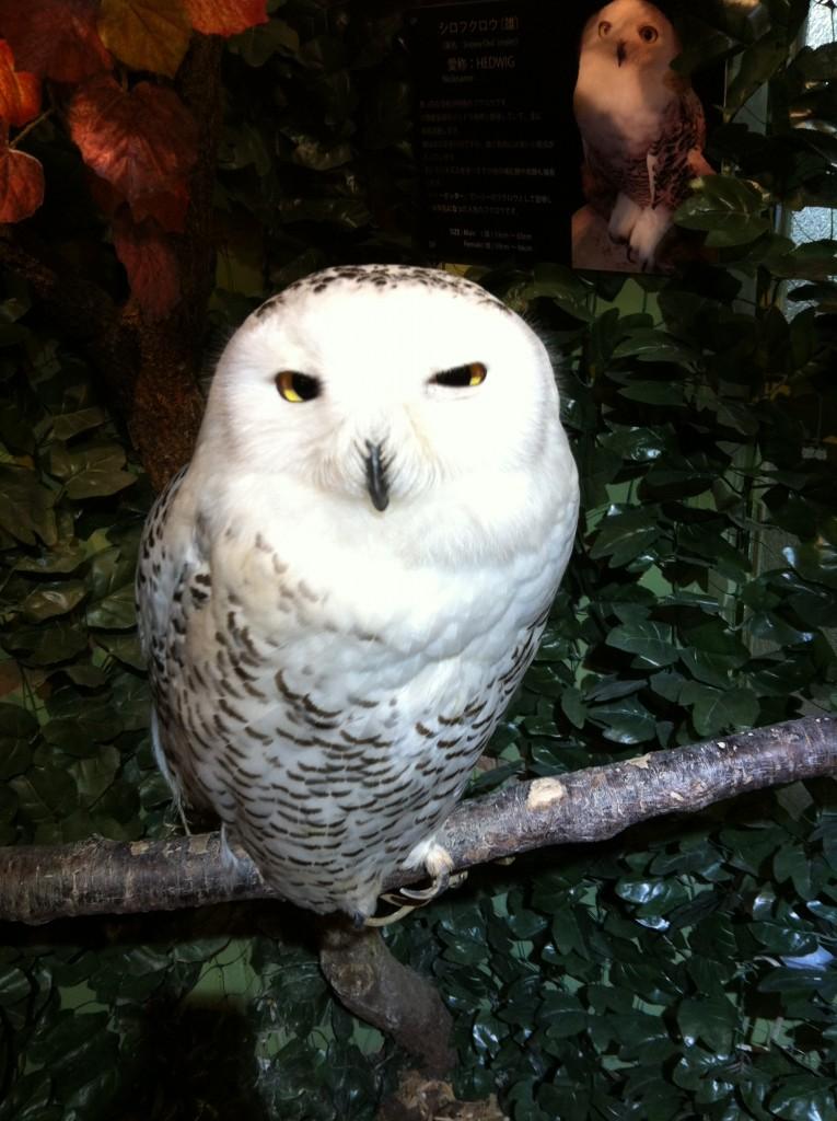 京都ふくろうの森のヘドウィグ(白フクロウ)画像2