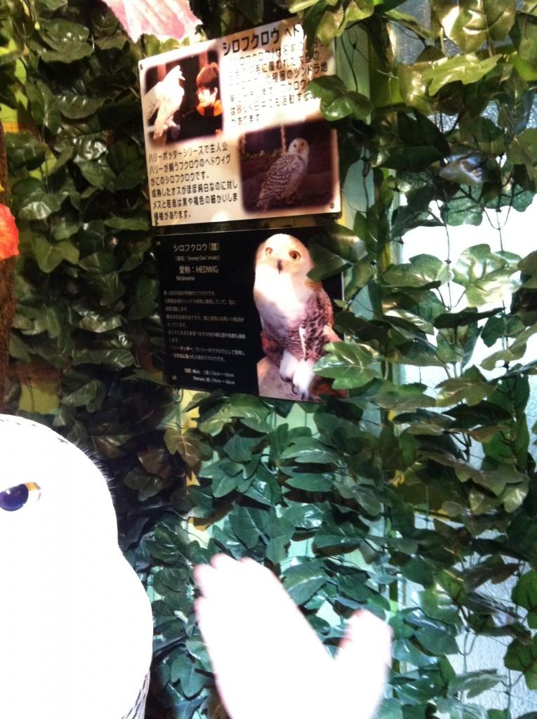 京都ふくろうの森のヘドウィグ(白フクロウ)の紹介文の画像