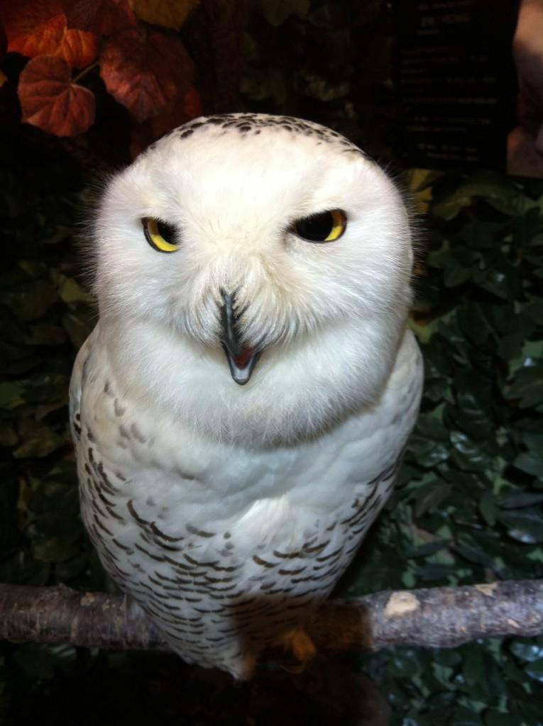 京都ふくろうの森のヘドウィグ(白フクロウ)画像3