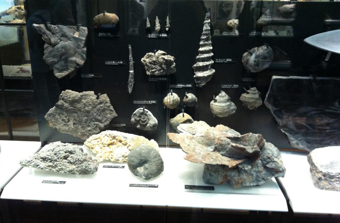 海の化石展示物画像