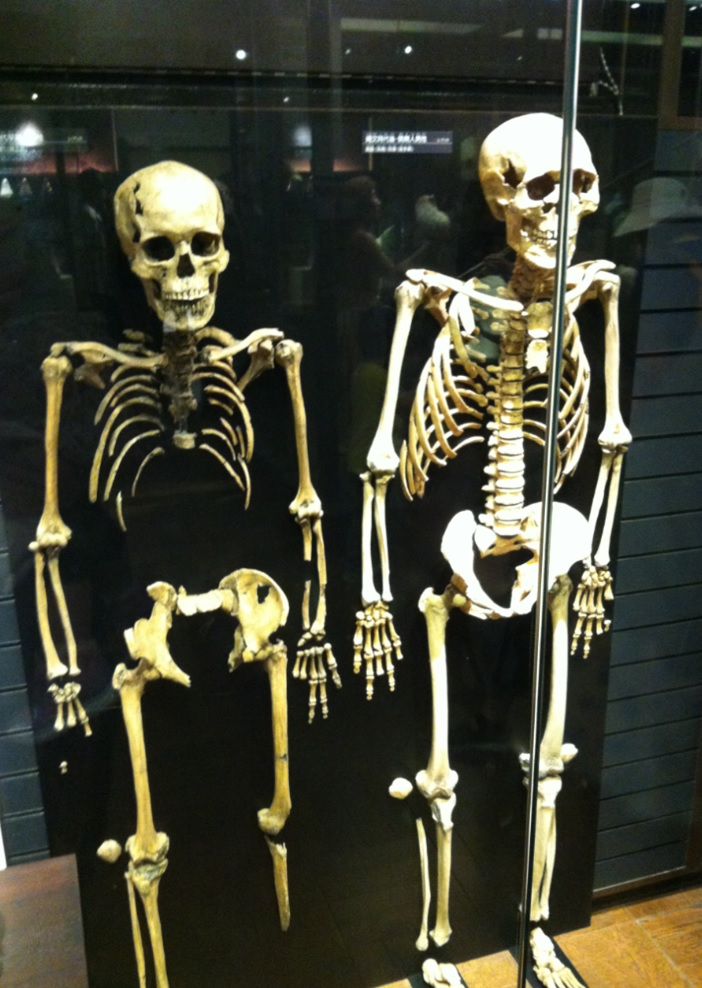上野博物館展示物~骸骨の画像