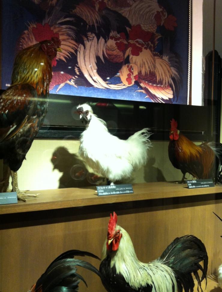 烏骨鶏(ウコッケイ)の画像