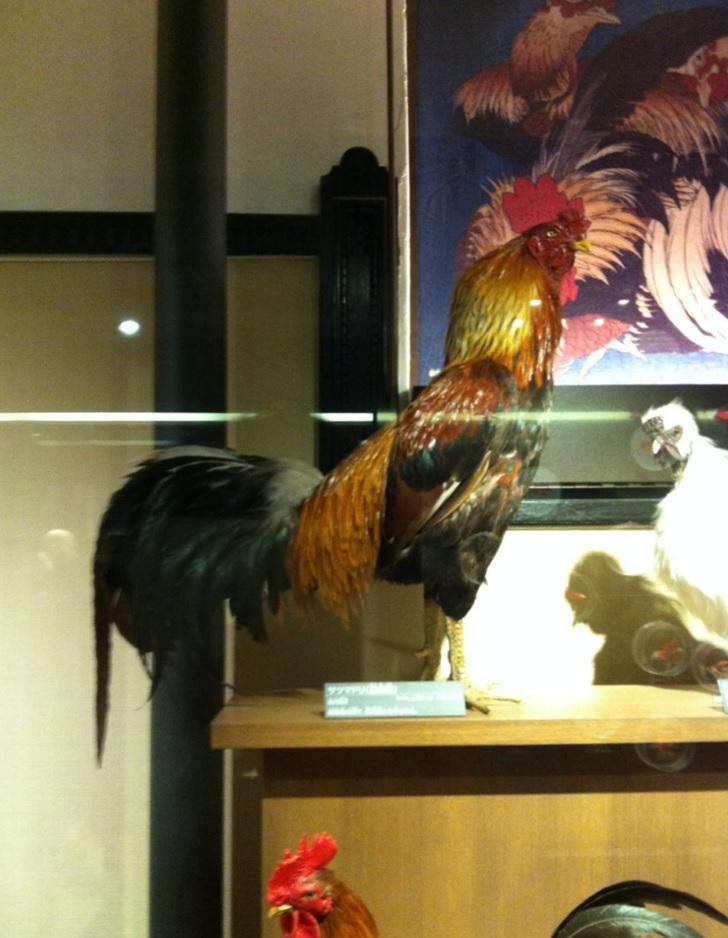 薩摩鳥(サツマドリ)の画像