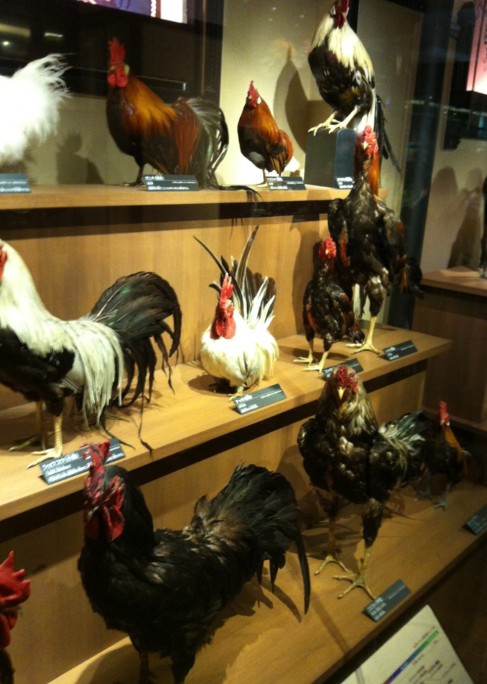 色んな鶏類の画像
