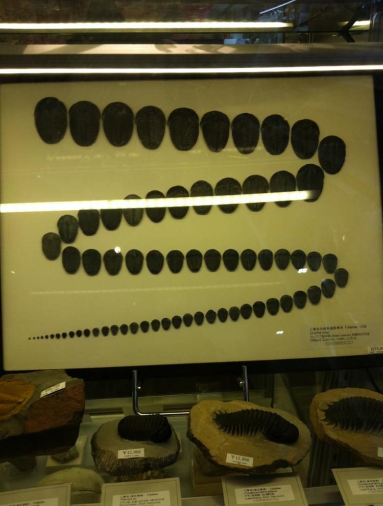 国立科学博物館のお土産屋さん~三葉虫化石の変遷の画像