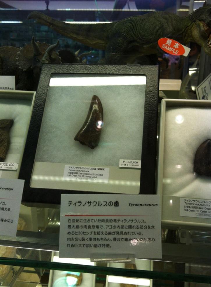国立科学博物館のお土産屋さん~ティラノサウルスの歯(高額)の画像