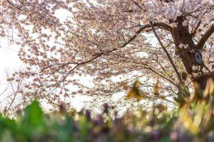 小学校受験の試験結果のイメージ画像(桜の木)